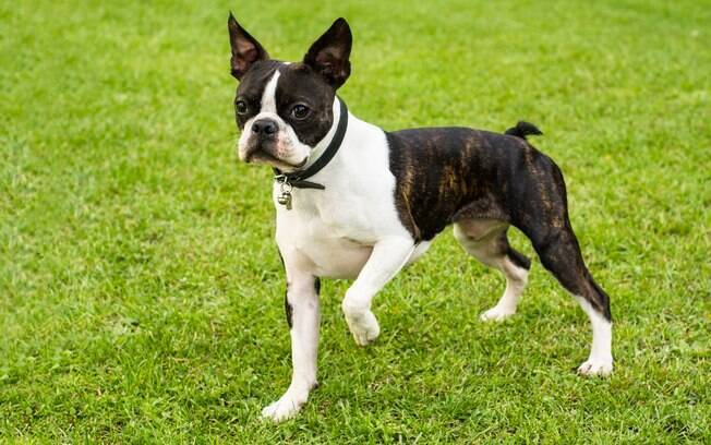 Cachorro da raça Boston Terrier